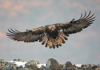 Скален Орел  Aquila chrysaetos